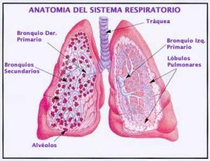 anatomia_resp